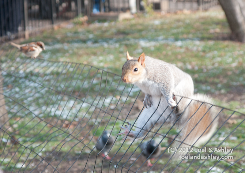 Agile Squirrel at Battery Park