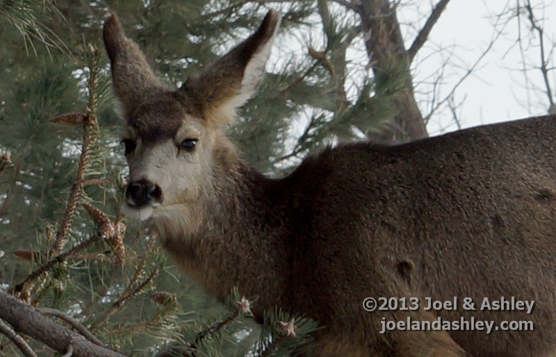 Deer on Campus 1