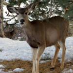 Deer on Campus 2