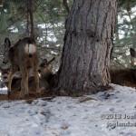 Deer on Campus 3