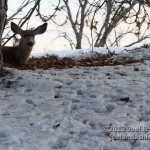 Deer on Campus 4