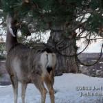 Deer on Campus 5