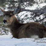 Deer on Campus 7