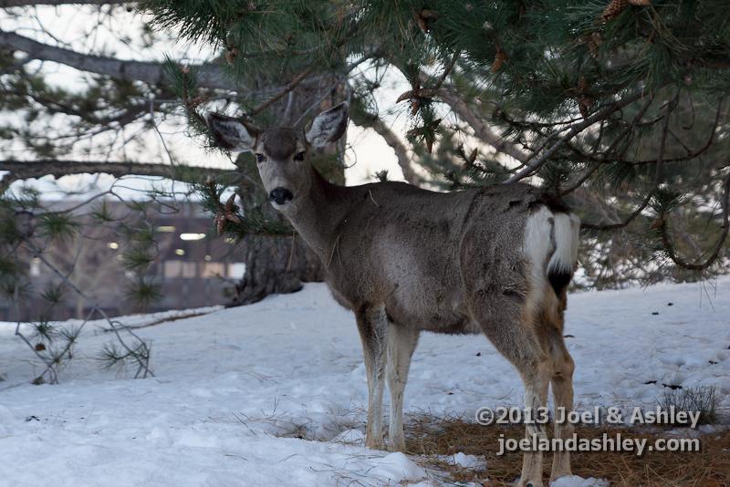 Deer on Campus 8