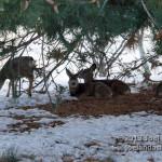 Deer on Campus 9